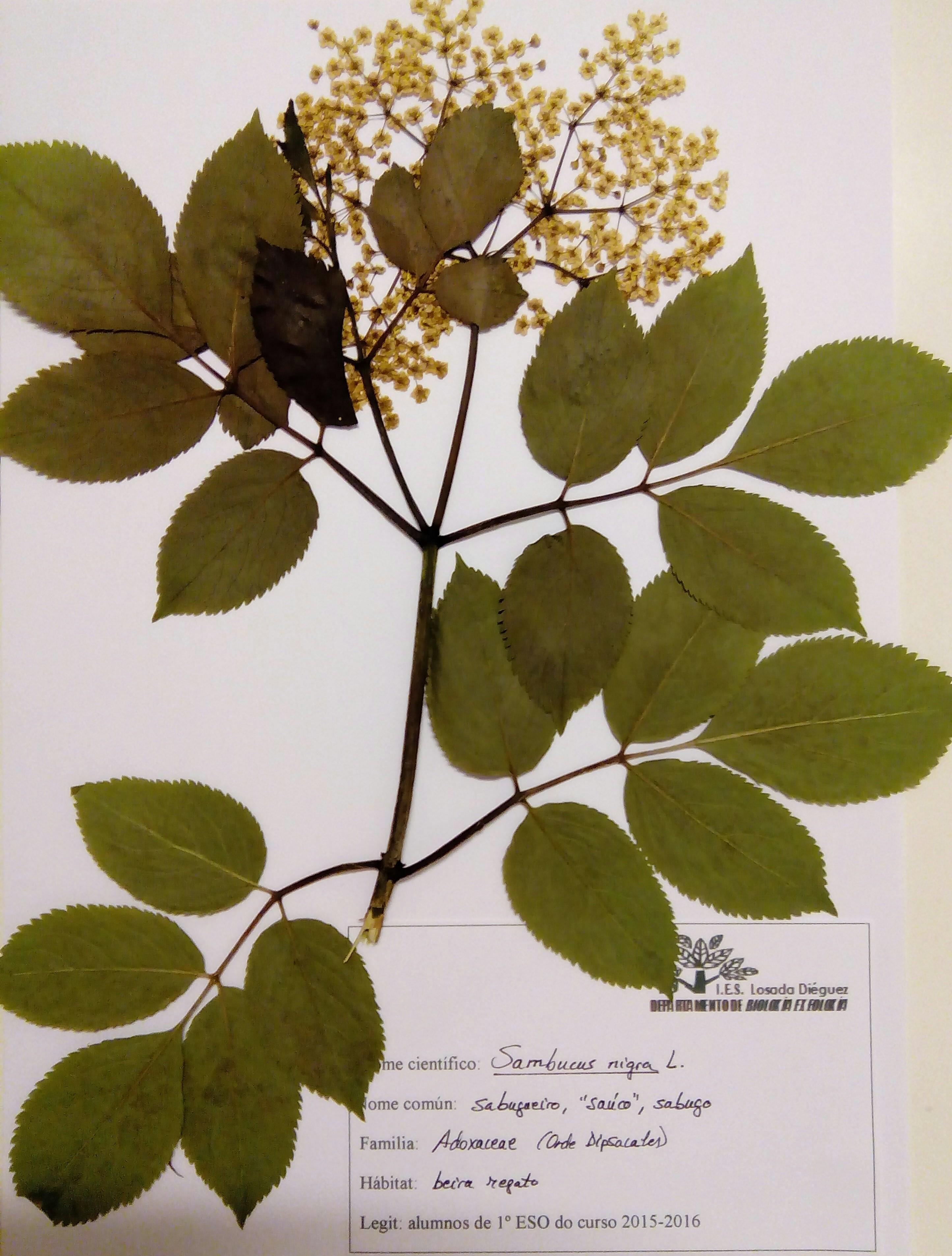 Herbario-sabugueiro