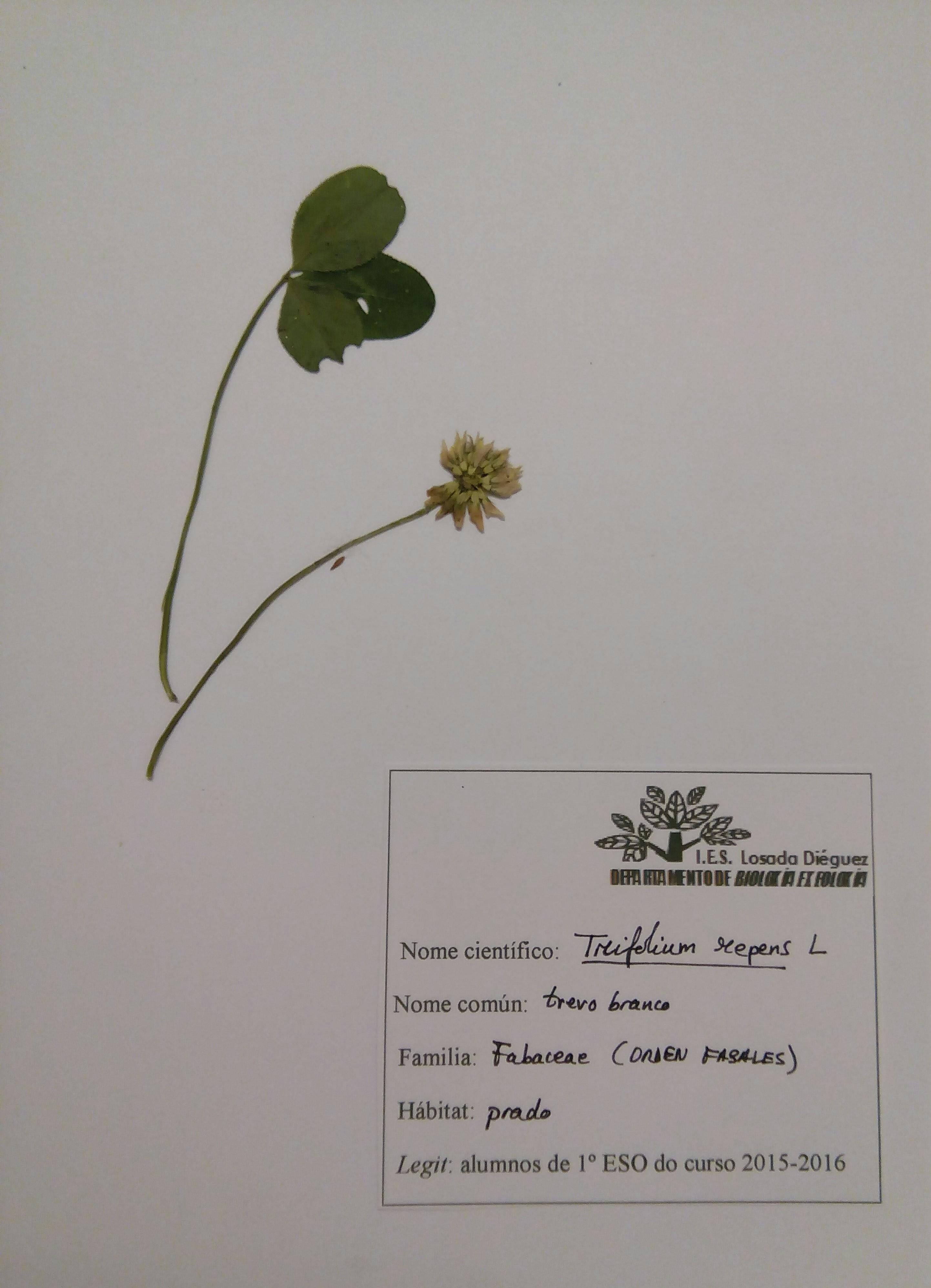 Herbario-trébol blanco