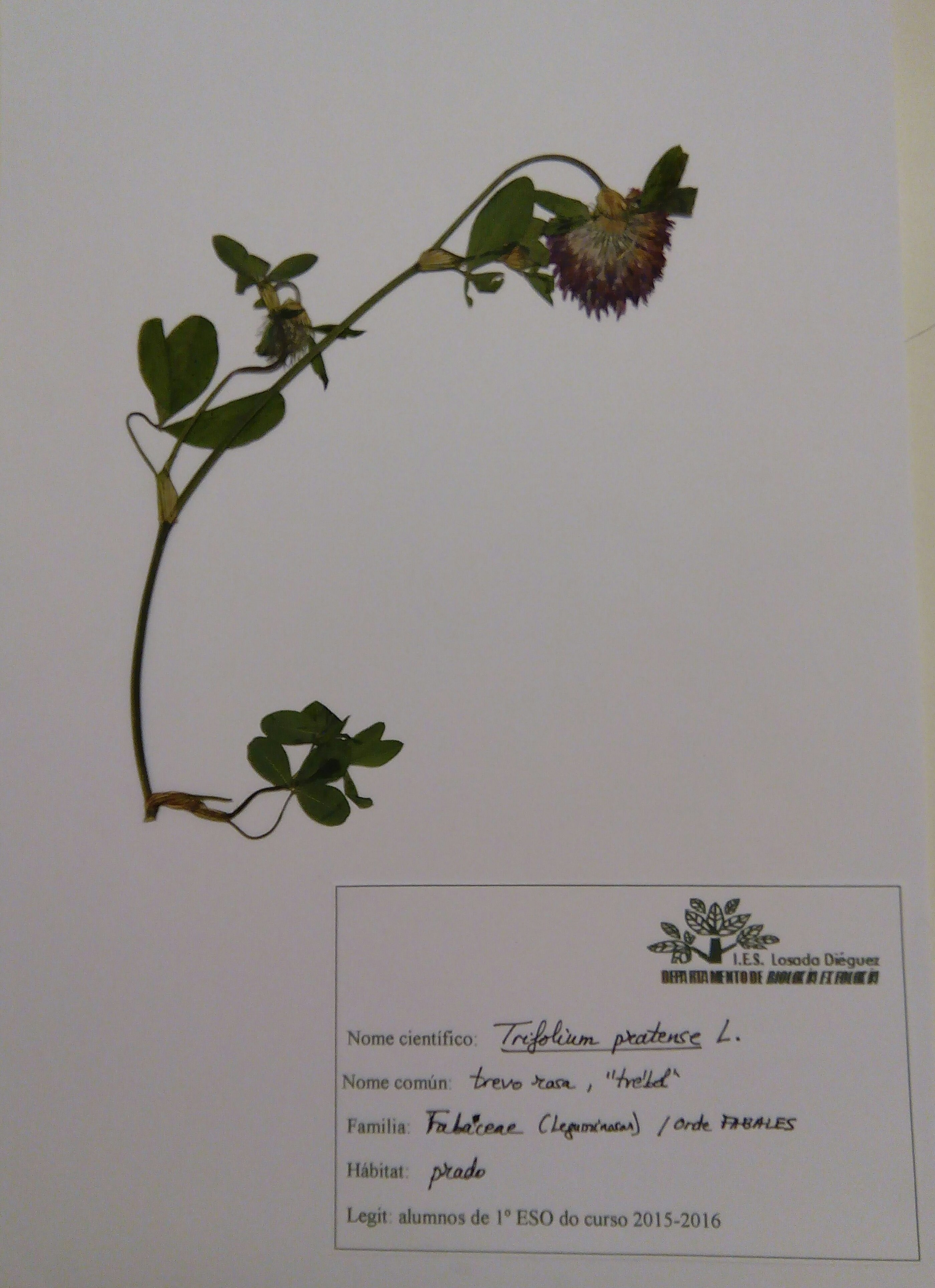 Herbario-trébol rosa