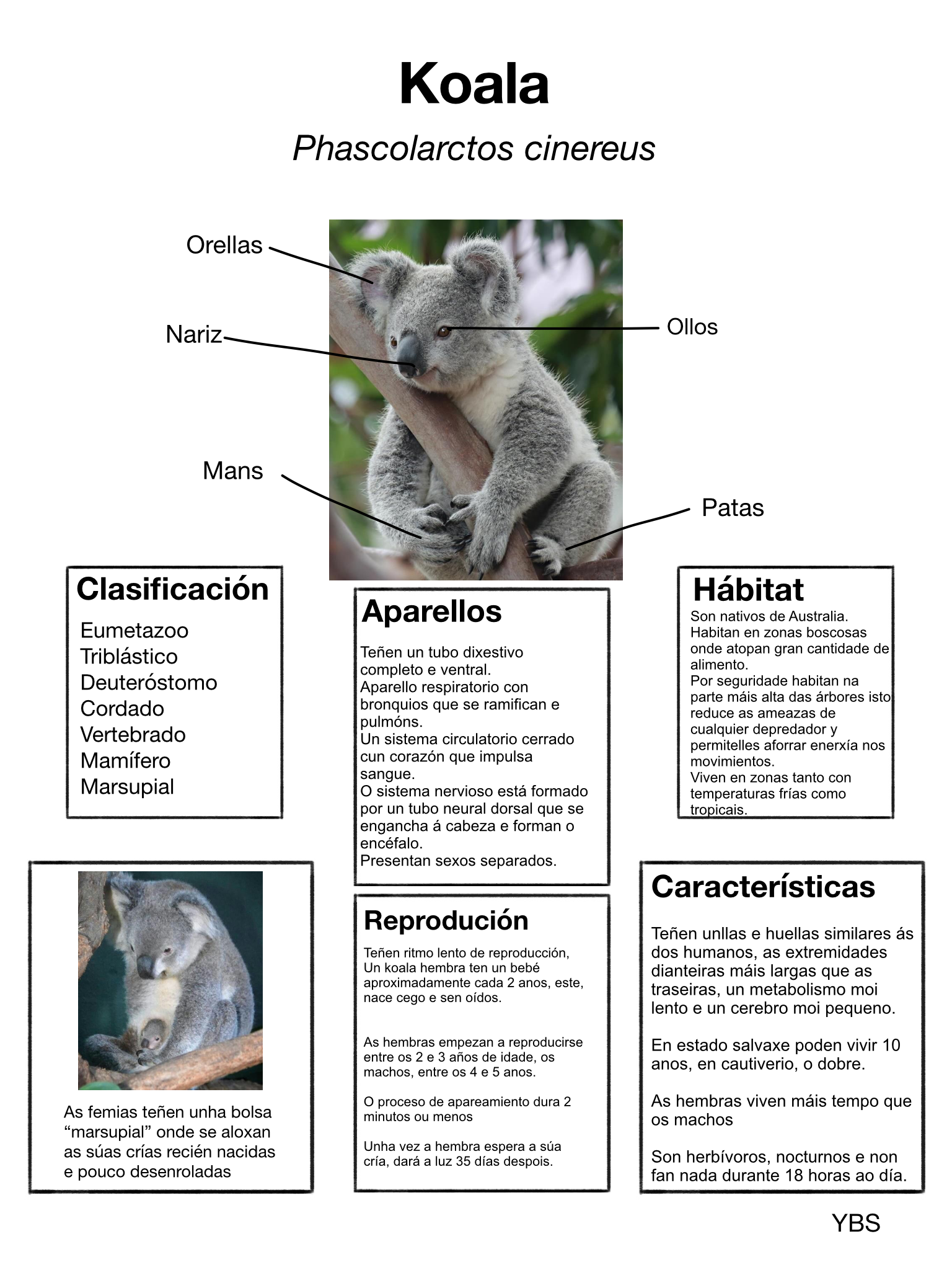 Blanco Y - koala